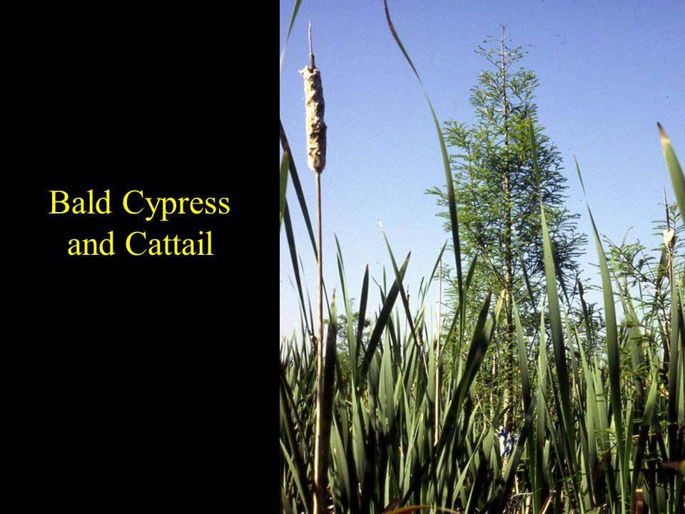 Bald Cypress and Cattail
