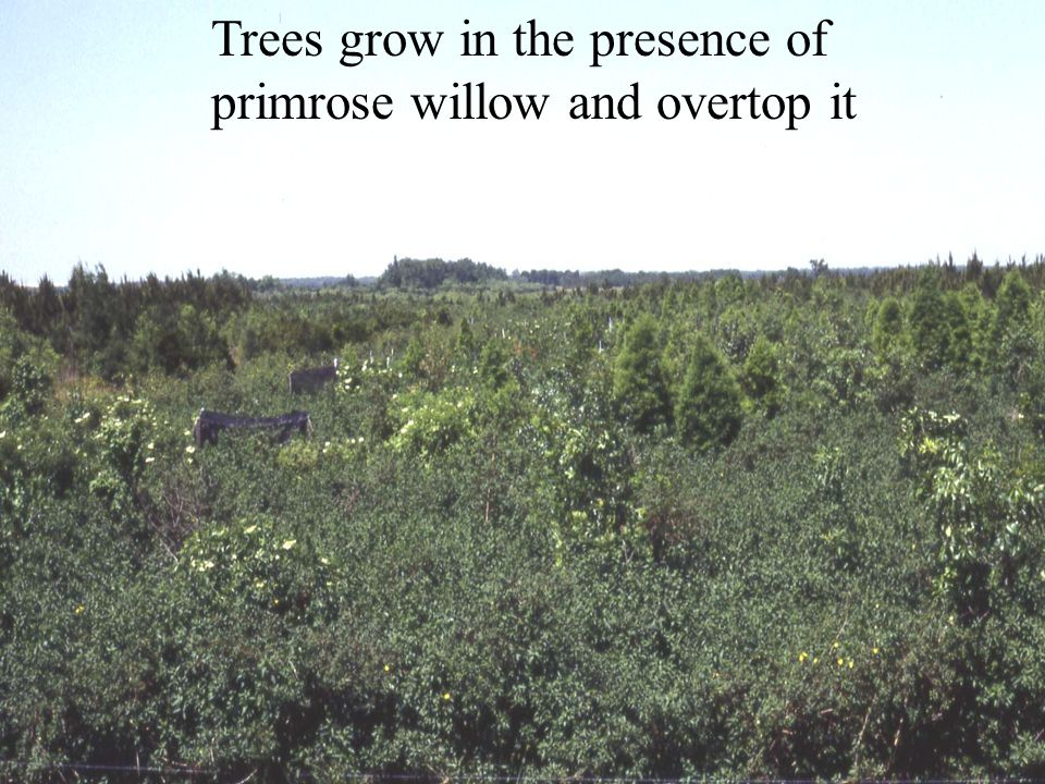 Trees grow in the presence of primrose willow and overtop it