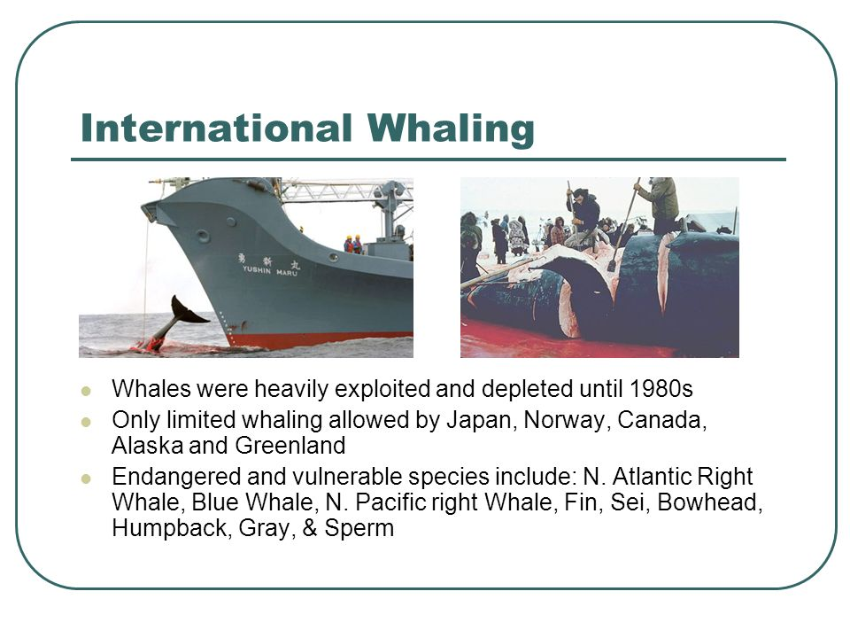 International Whaling Whales were heavily exploited and depleted until 1980s Only limited whaling allowed by Japan, Norway, Canada, Alaska and Greenland Endangered and vulnerable species include: N.