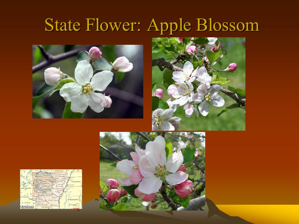 State Flower: Apple Blossom