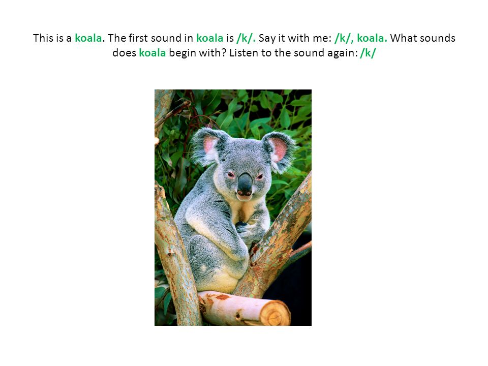 This is a koala. The first sound in koala is /k/.