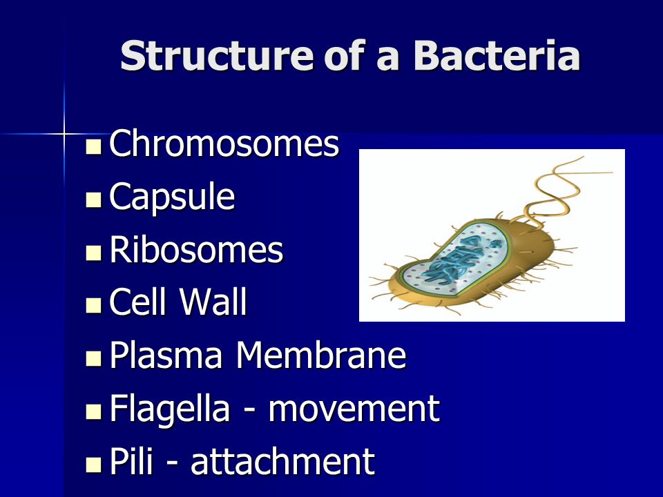 Structure of a Bacteria Chromosomes Chromosomes Capsule Capsule Ribosomes Ribosomes Cell Wall Cell Wall Plasma Membrane Plasma Membrane Flagella - movement Flagella - movement Pili - attachment Pili - attachment