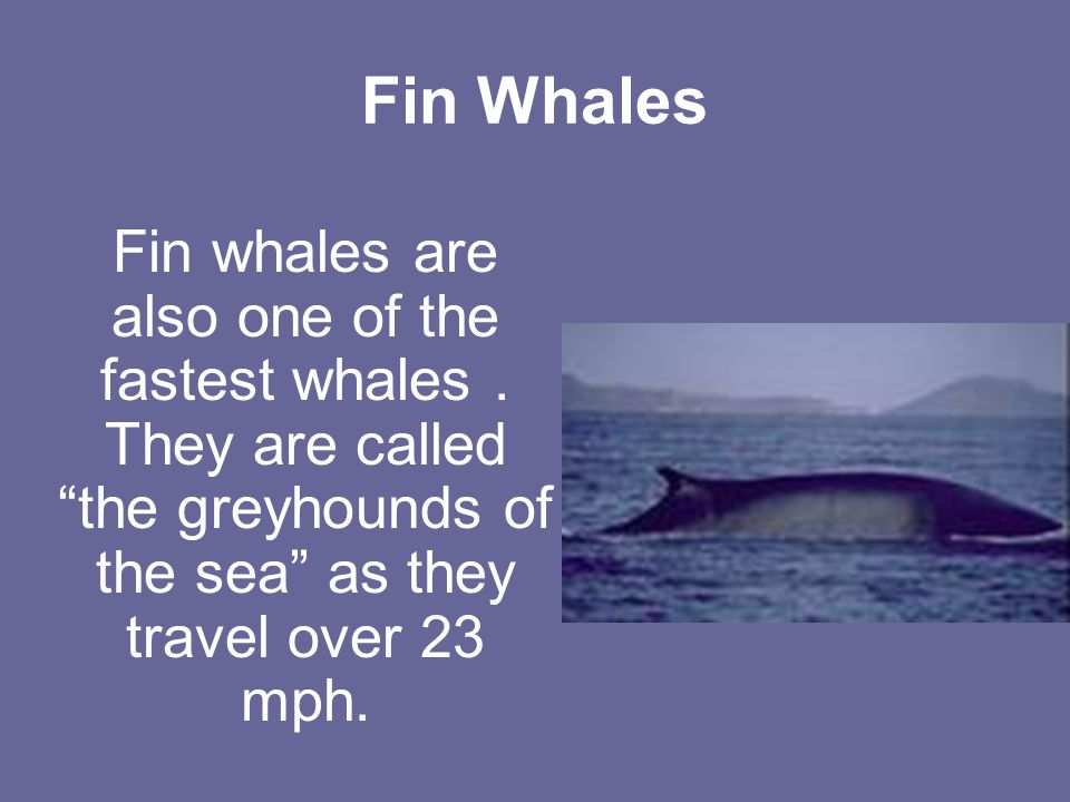 Fin Whales Fin whales are also one of the fastest whales.