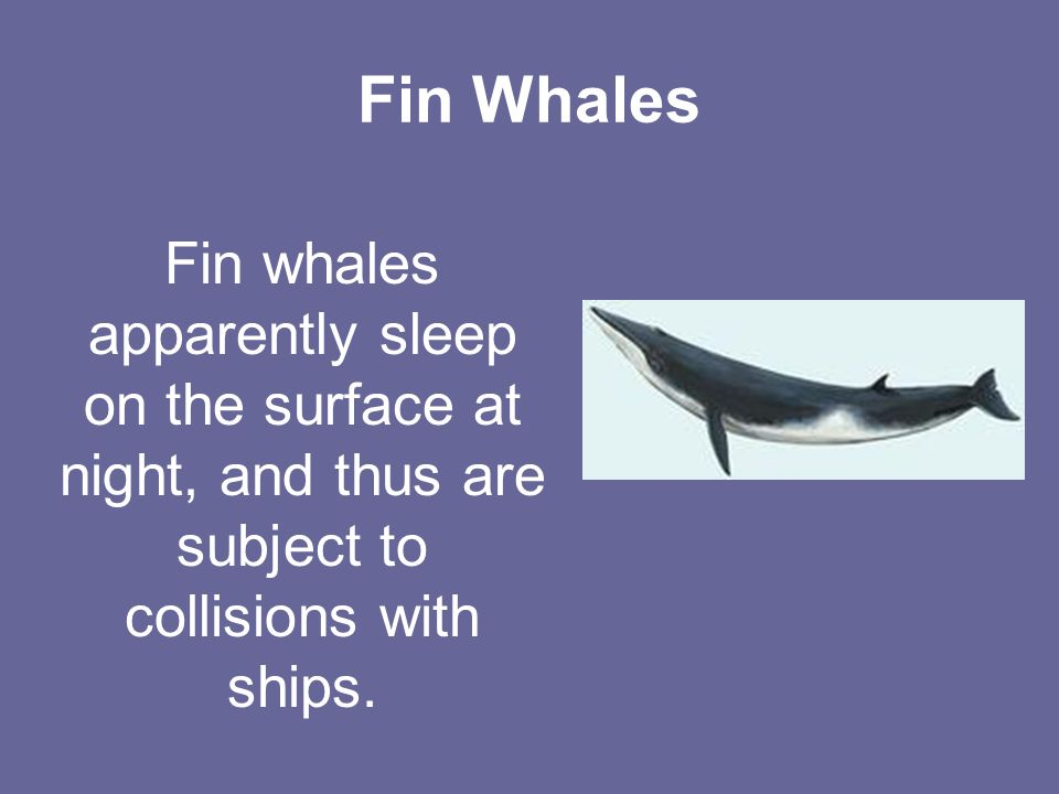 Fin Whales Fin whales apparently sleep on the surface at night, and thus are subject to collisions with ships.
