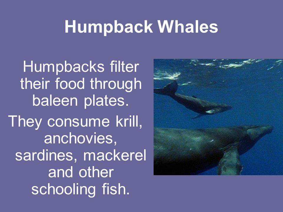 Humpback Whales Humpbacks filter their food through baleen plates.