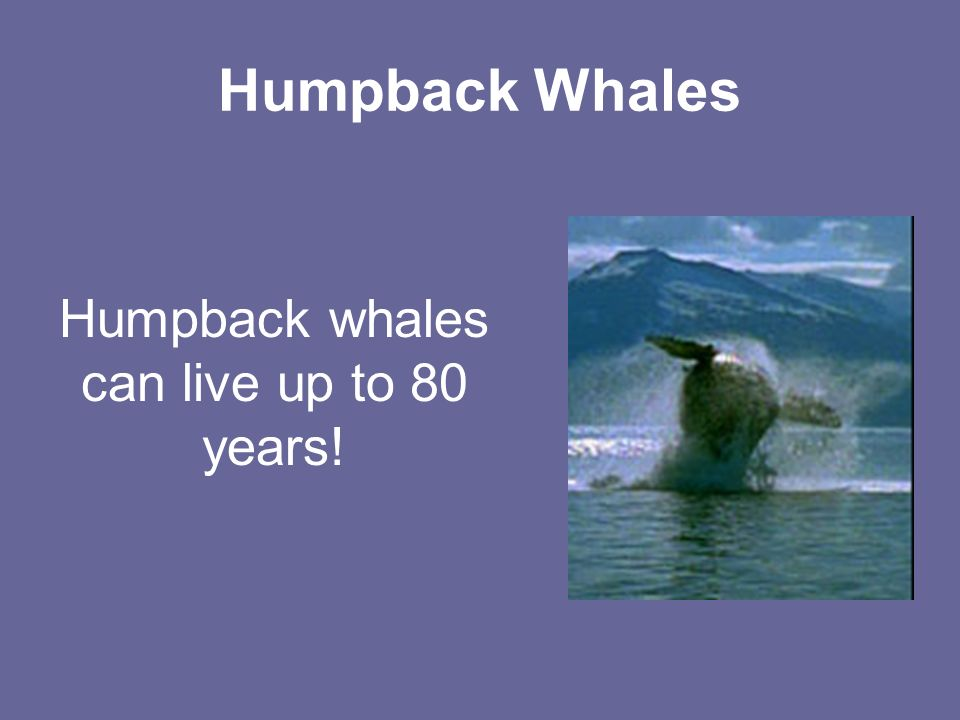 Humpback Whales Humpback whales can live up to 80 years!