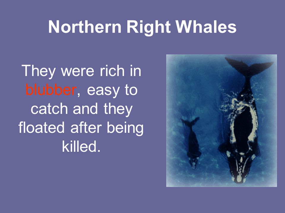 Northern Right Whales They were rich in blubber, easy to catch and they floated after being killed.