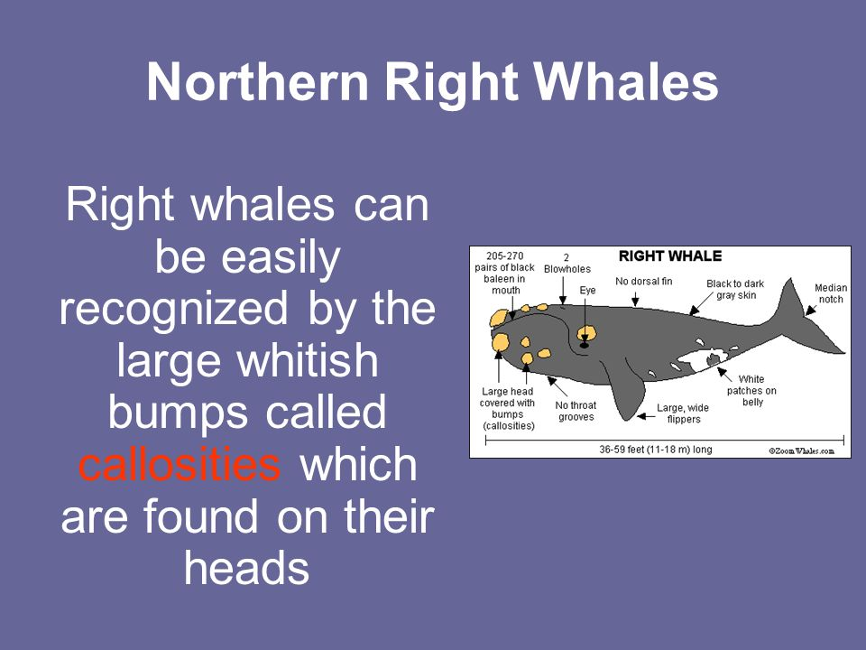 Northern Right Whales Right whales can be easily recognized by the large whitish bumps called callosities which are found on their heads