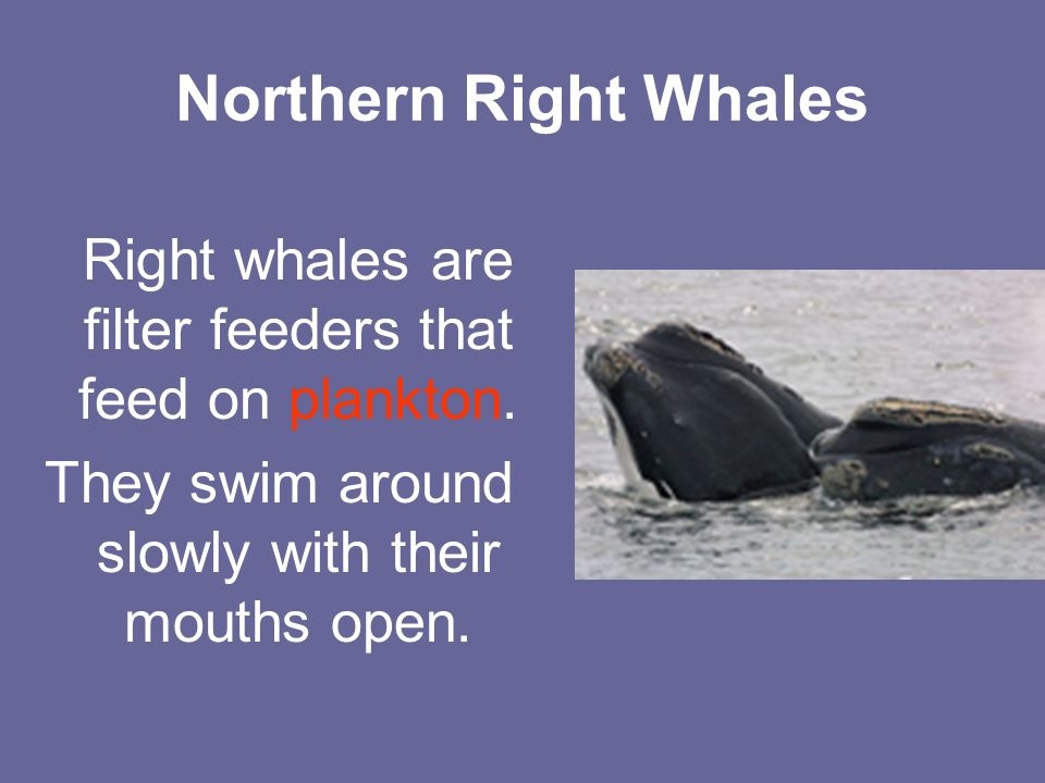 Northern Right Whales Right whales are filter feeders that feed on plankton.