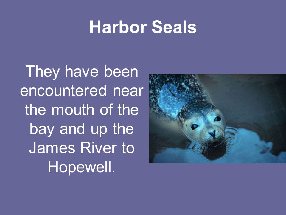 Harbor Seals They have been encountered near the mouth of the bay and up the James River to Hopewell.