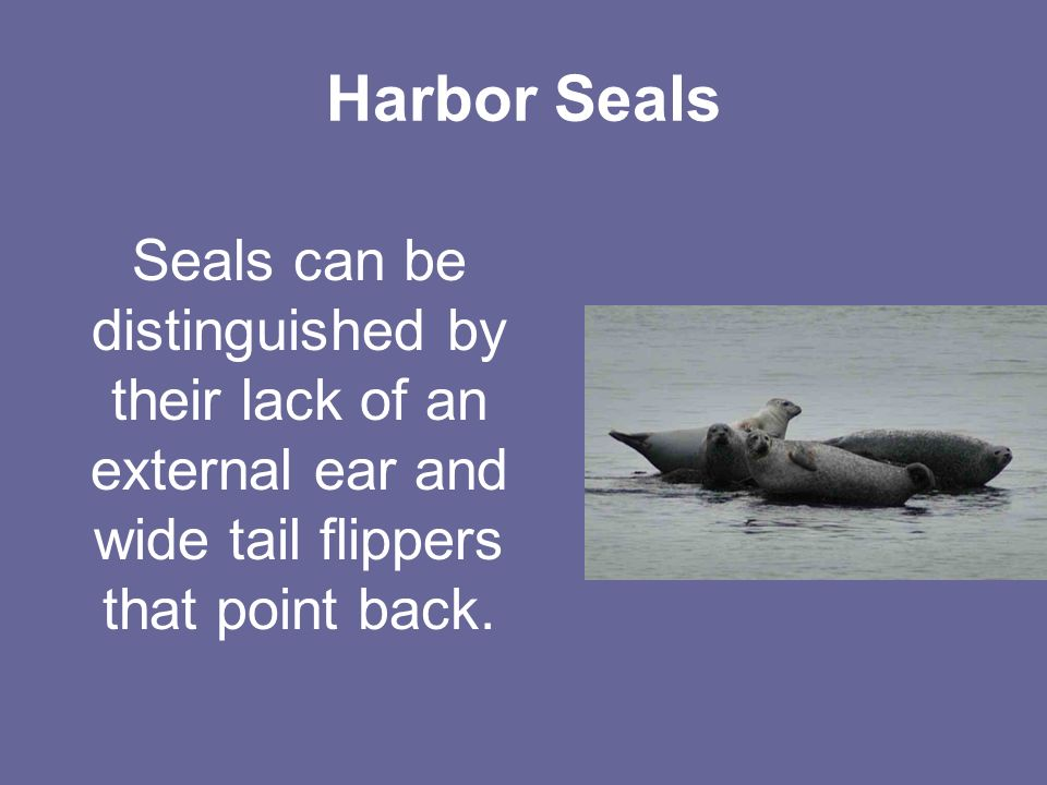 Harbor Seals Seals can be distinguished by their lack of an external ear and wide tail flippers that point back.