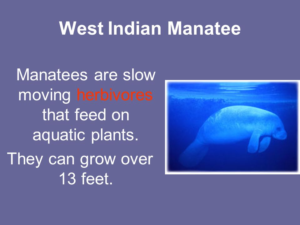 West Indian Manatee Manatees are slow moving herbivores that feed on aquatic plants.