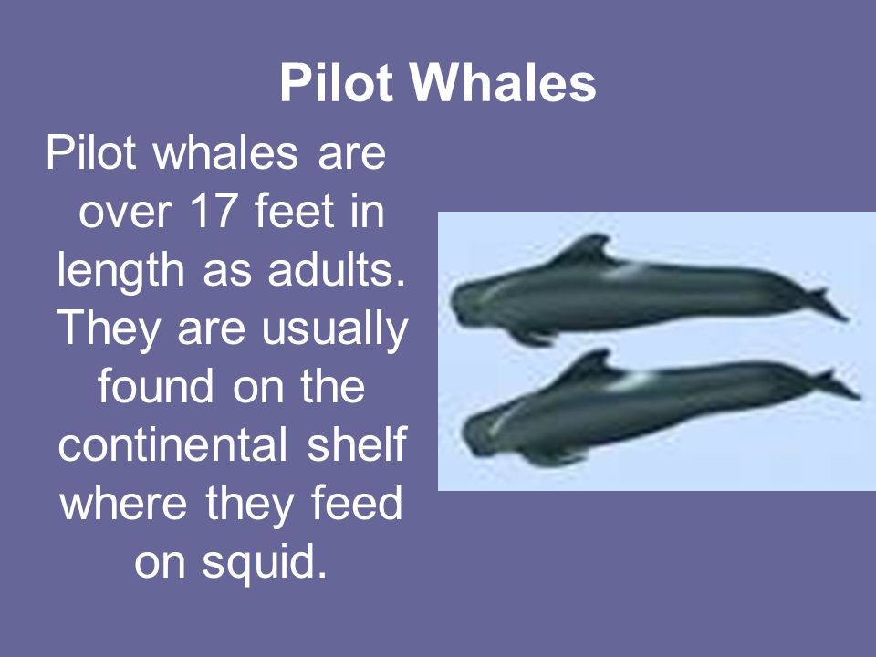 Pilot Whales Pilot whales are over 17 feet in length as adults.