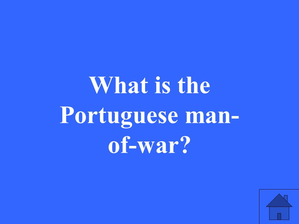 What is the Portuguese man- of-war