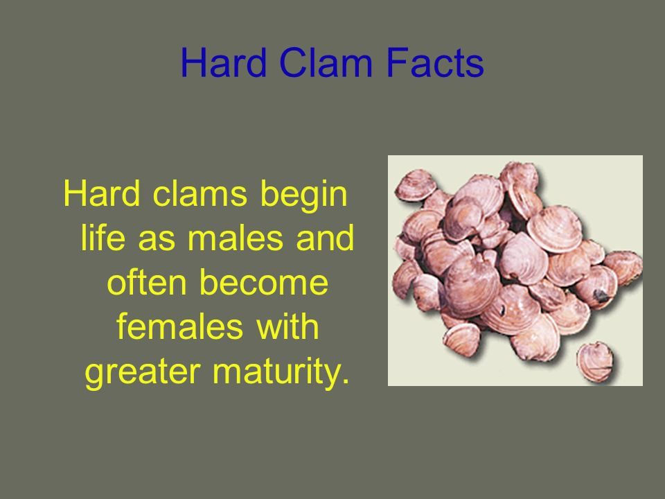 Hard Clam Facts Hard clams begin life as males and often become females with greater maturity.