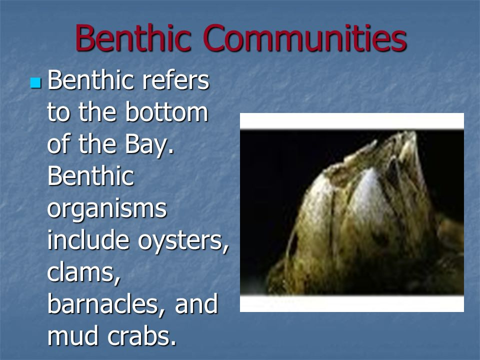 Benthic Communities Benthic refers to the bottom of the Bay.