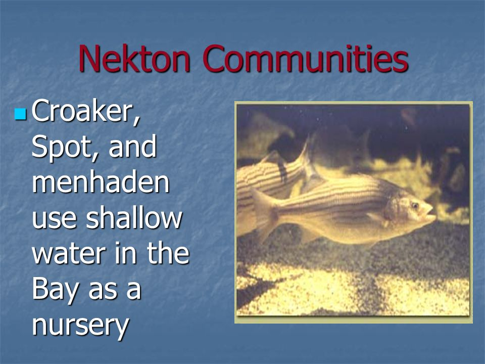 Nekton Communities Croaker, Spot, and menhaden use shallow water in the Bay as a nursery Croaker, Spot, and menhaden use shallow water in the Bay as a nursery