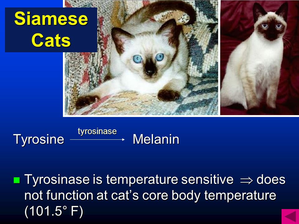 TyrosineMelanin Tyrosinase is temperature sensitive does not function at cats core body temperature (101.5° F) Tyrosinase is temperature sensitive does not function at cats core body temperature (101.5° F) tyrosinase Siamese Cats