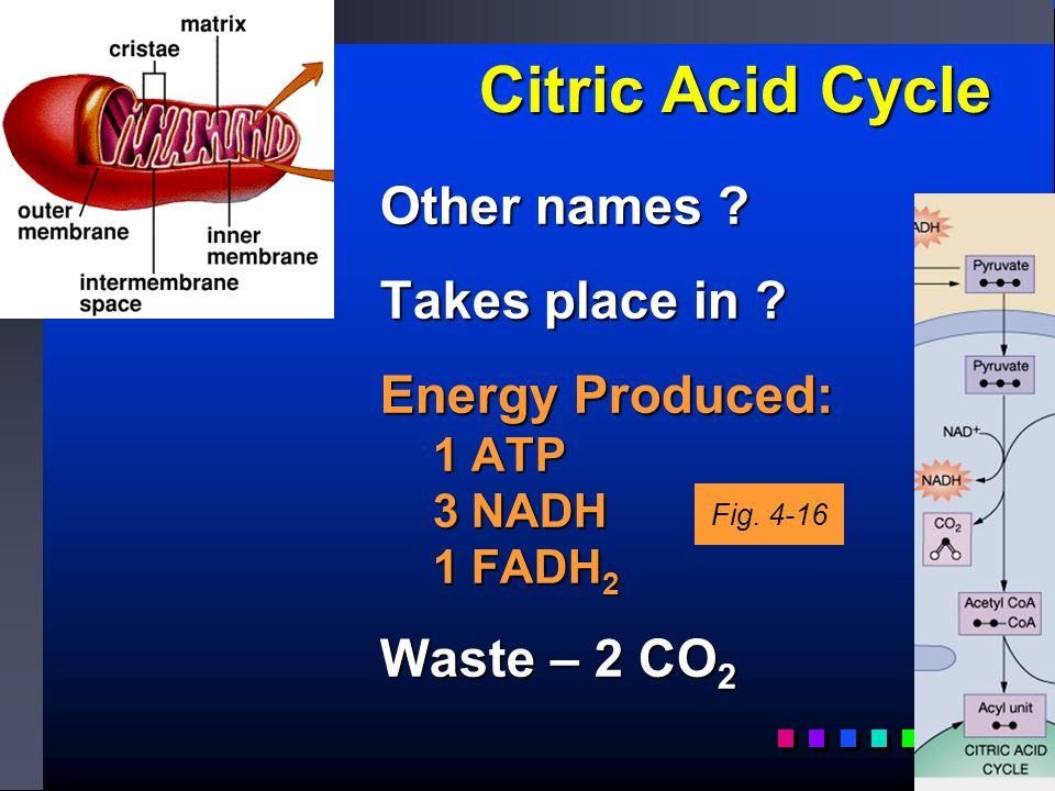 Citric Acid Cycle Other names . Takes place in .