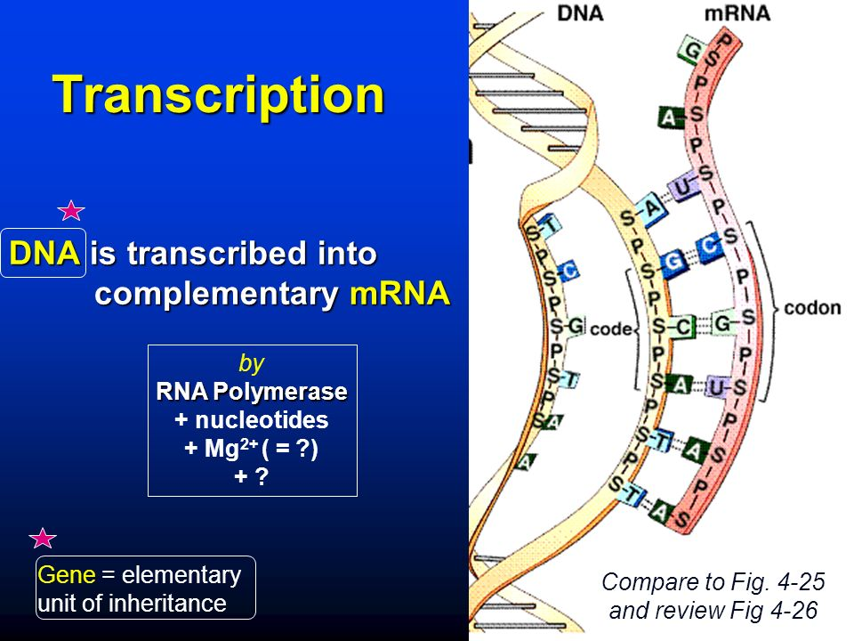 Transcription DNA is transcribed into complementary mRNA by RNA Polymerase + nucleotides + Mg 2+ ( = ) + .