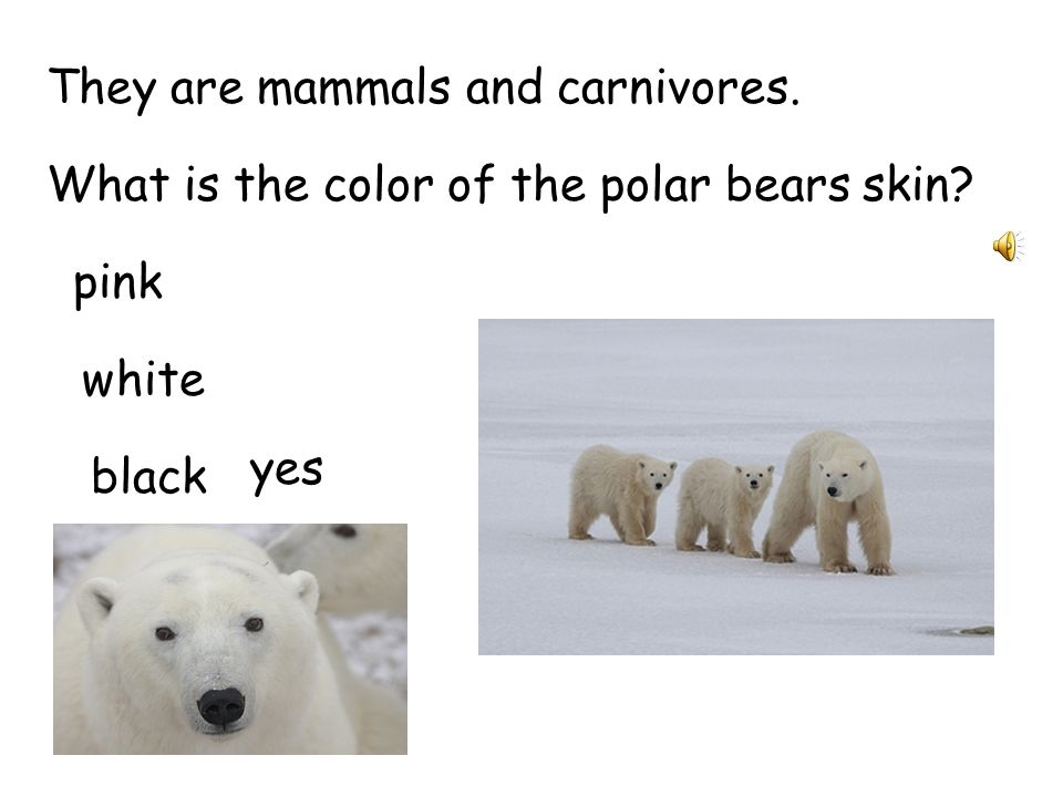 Polar bears roam the Arctic ice sheets and swim in that region s coastal waters.