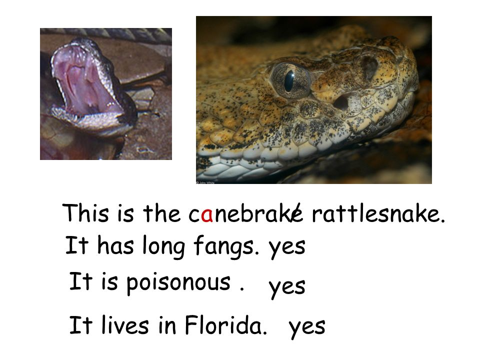 This is the c nebrake rattlesnake./ It has long fangs. It is poisonous. It lives in Florida. yes a