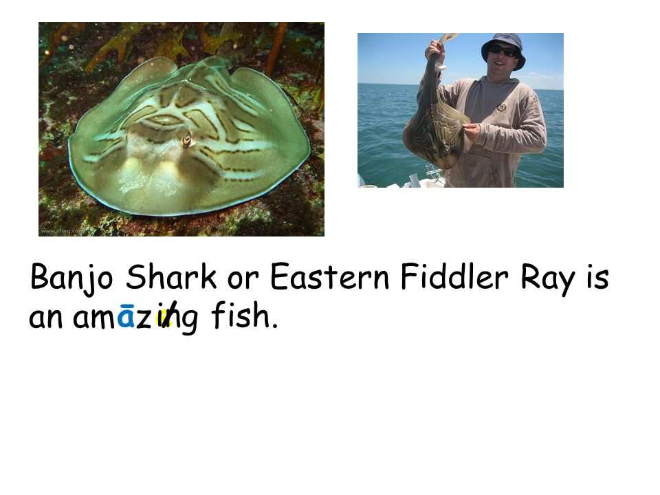 Banjo Shark or Eastern Fiddler Ray is an am z āe/ingfish.