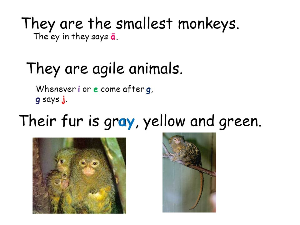 They are the smallest monkeys. They are agile animals.