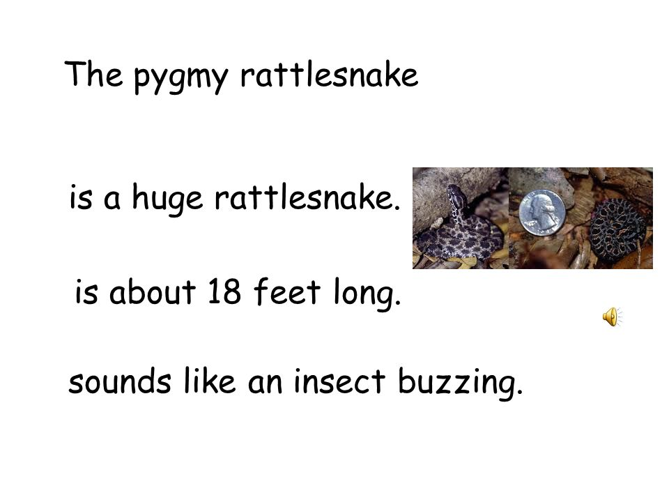 The pygmy rattlesnake is a huge rattlesnake. is about 18 feet long. sounds like an insect buzzing.