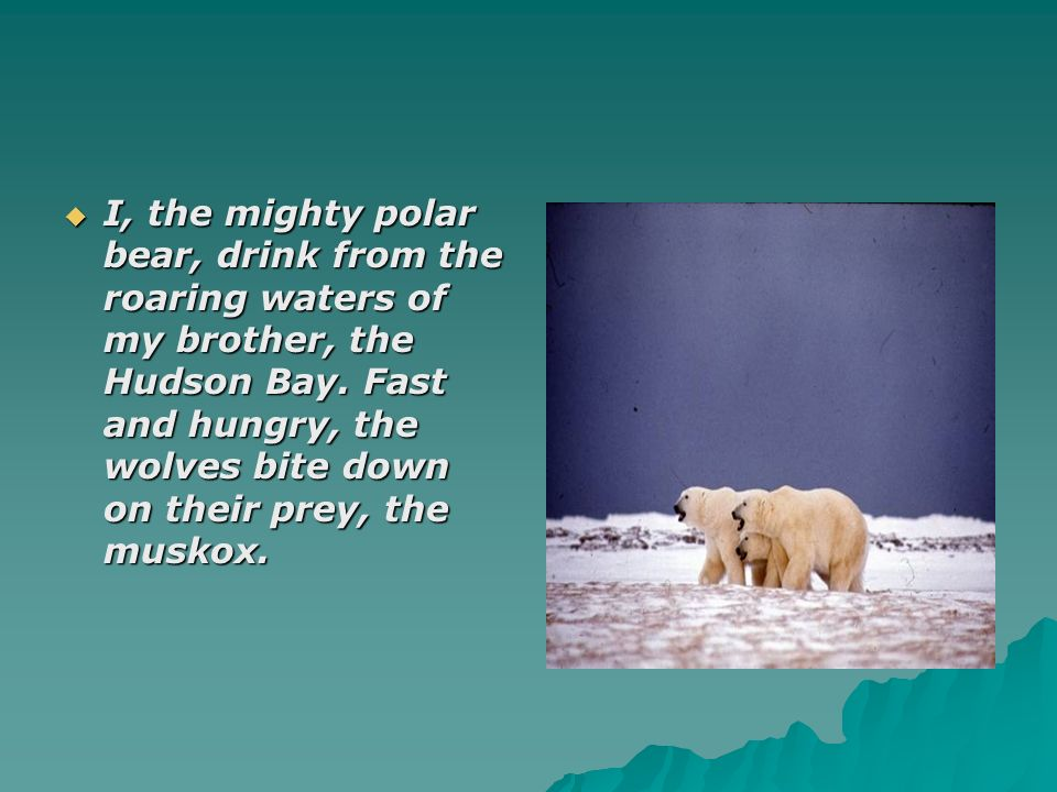 I, the mighty polar bear, drink from the roaring waters of my brother, the Hudson Bay.