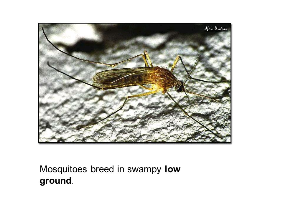 Mosquitoes breed in swampy low ground.