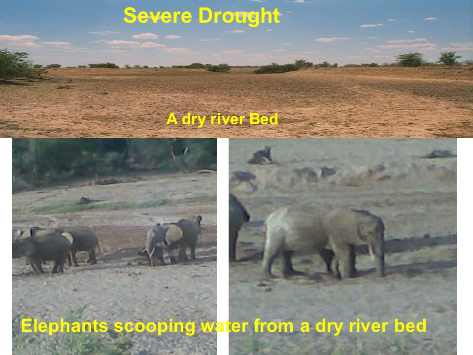 A dry river Bed Elephants scooping water from a dry river bed Severe Drought