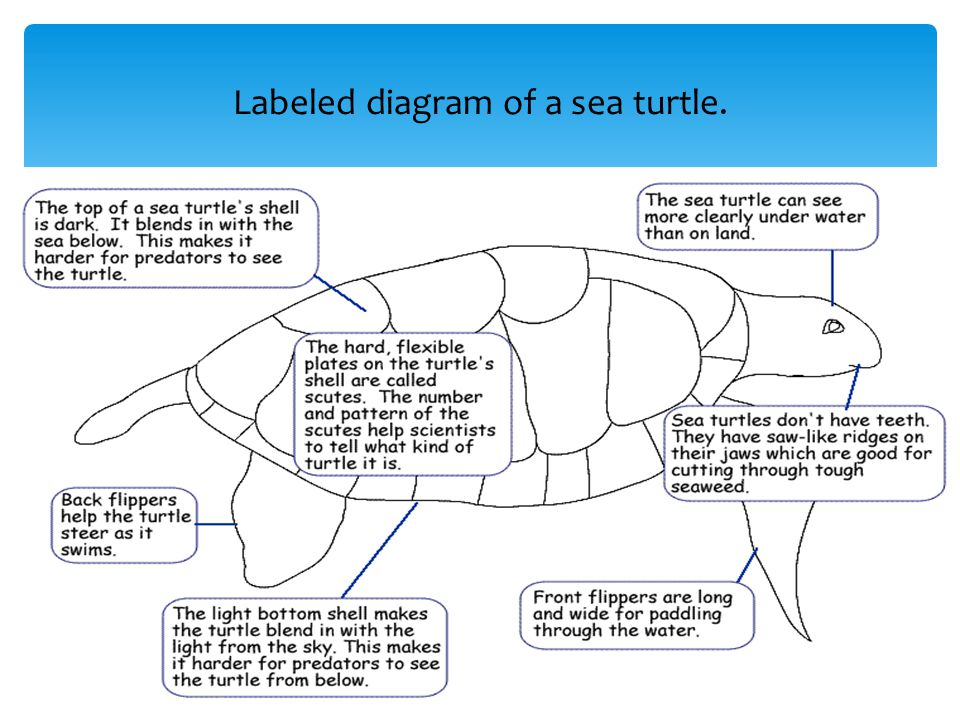 slide_2 biological science this is a hawksbill sea turtle sea turtles