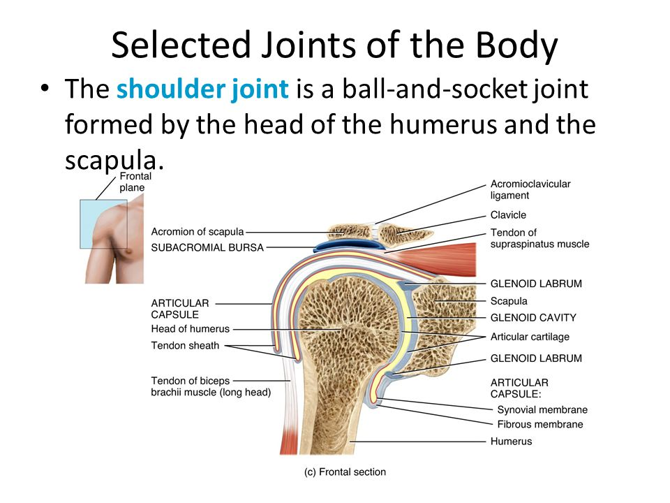 Selected Joints of the Body The shoulder joint is a ball-and-socket ...