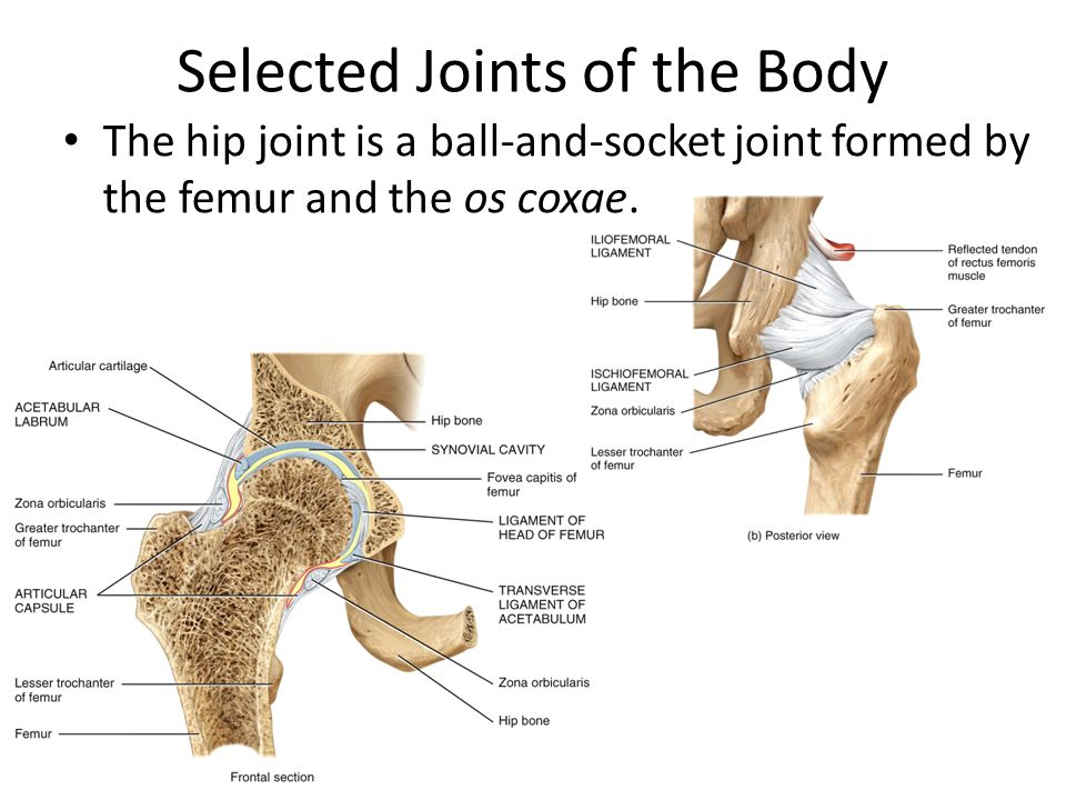 Selected Joints Of The Body The Shoulder Joint Is A Ball And Socket