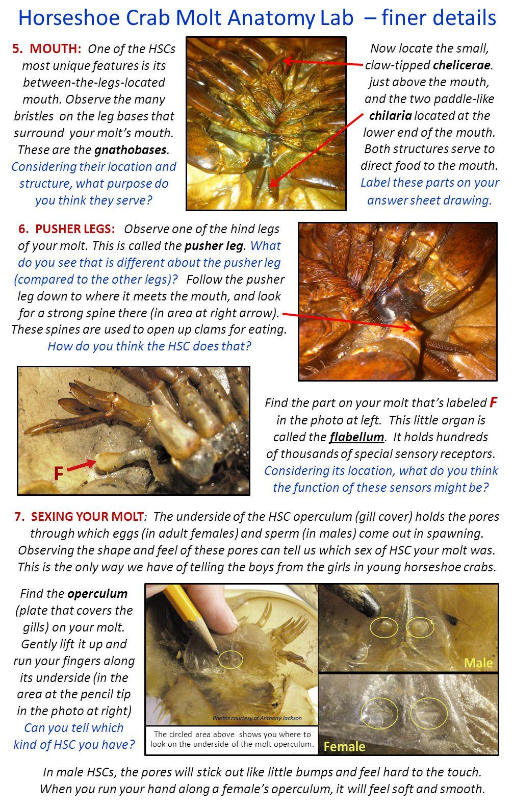 Horseshoe Crab Molt Anatomy Lab Basic Structures 4 Eyes Find The