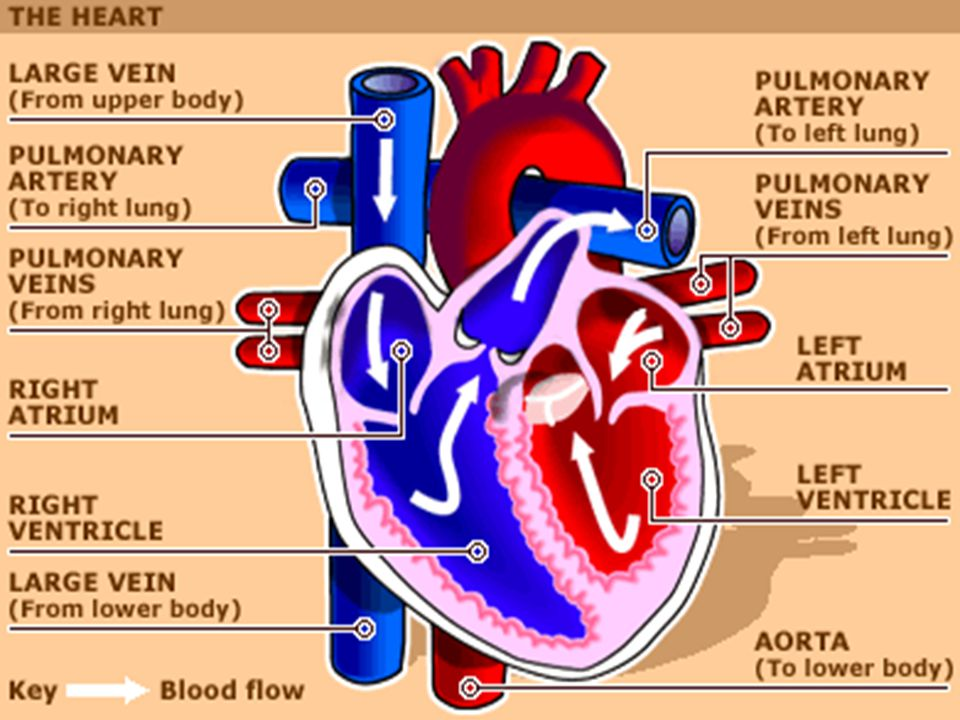 Heart Diagram Blood Flow Through The Steps House Wiring Diagram