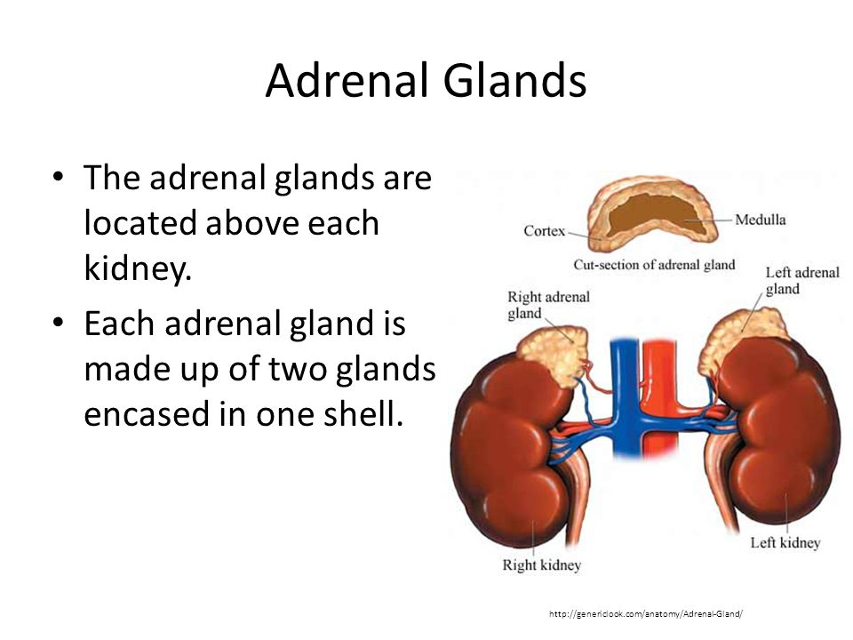 Adrenal Glands The adrenal glands are located above each kidney.
