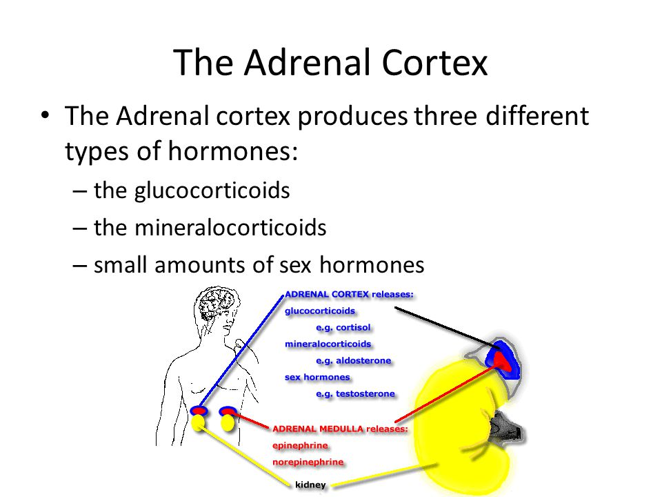 The Adrenal Cortex The Adrenal cortex produces three different types of hormones: – the glucocorticoids – the mineralocorticoids – small amounts of sex hormones