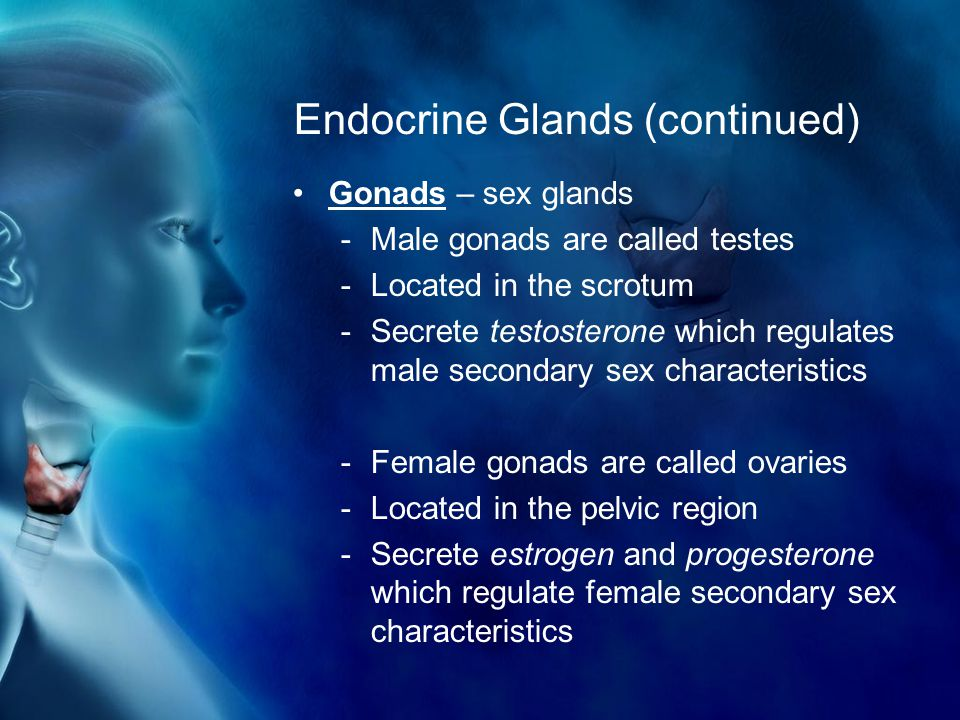 Endocrine Glands (continued) Gonads – sex glands -Male gonads are called testes -Located in the scrotum -Secrete testosterone which regulates male secondary sex characteristics -Female gonads are called ovaries -Located in the pelvic region -Secrete estrogen and progesterone which regulate female secondary sex characteristics