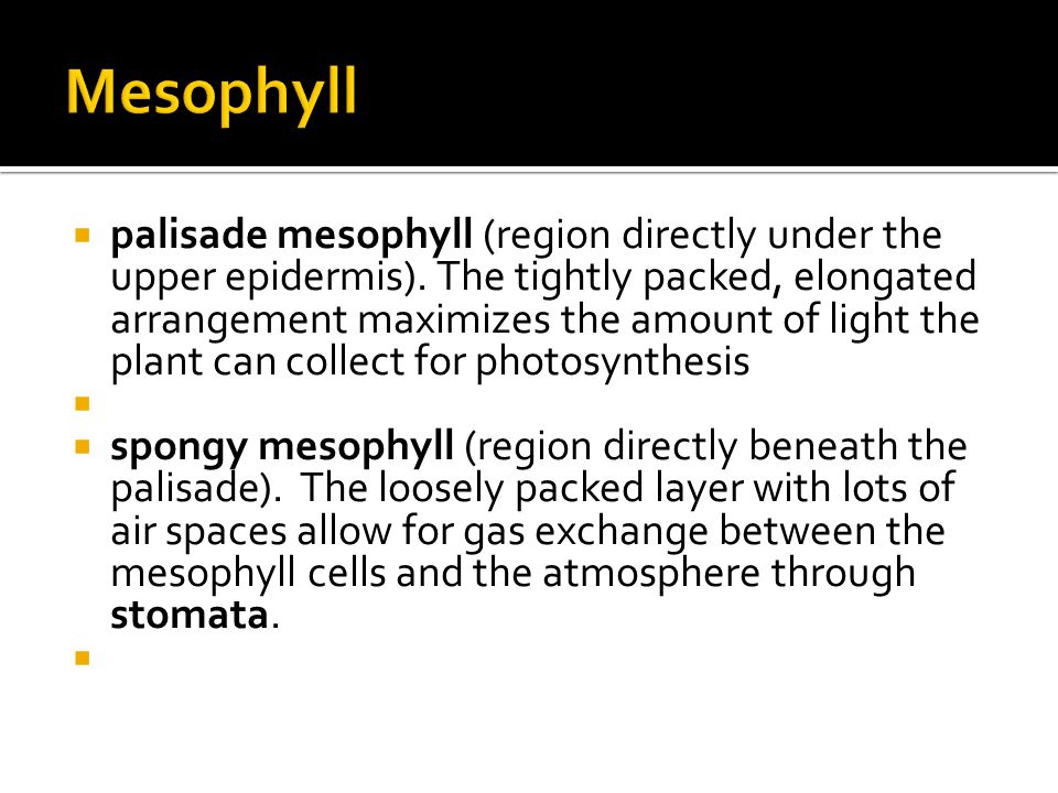  palisade mesophyll (region directly under the upper epidermis).