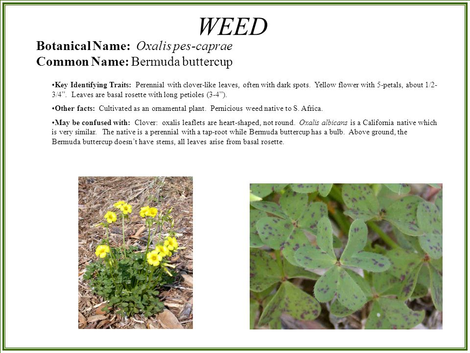 Plant Identification California Natives And Exotic Weeds Powerpoint