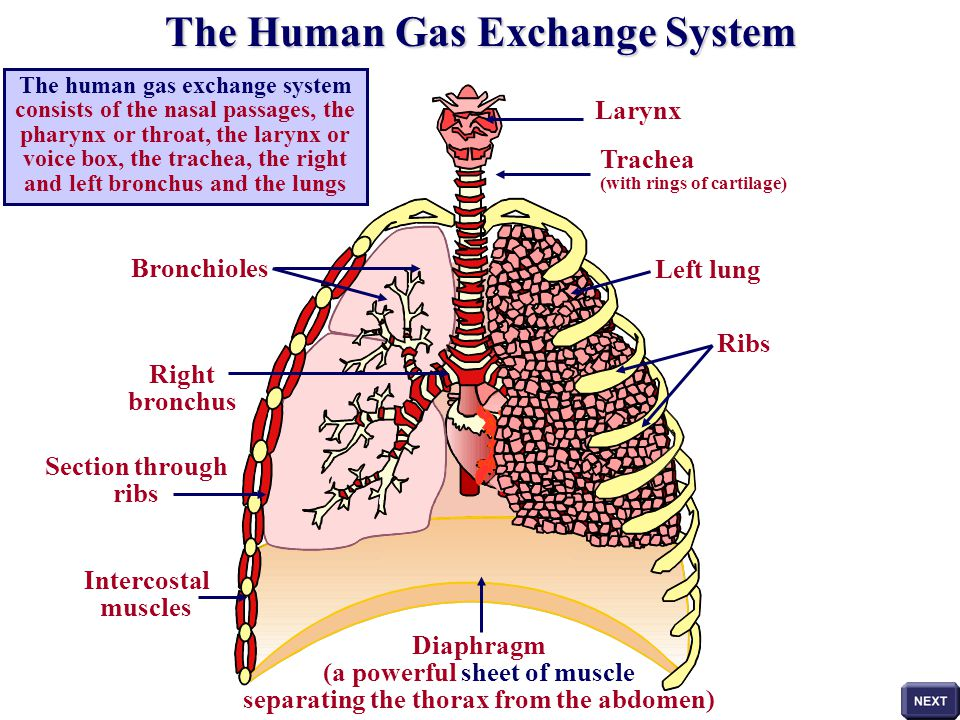 The Human Gas Exchange System Consists Of The Nasal Passages The
