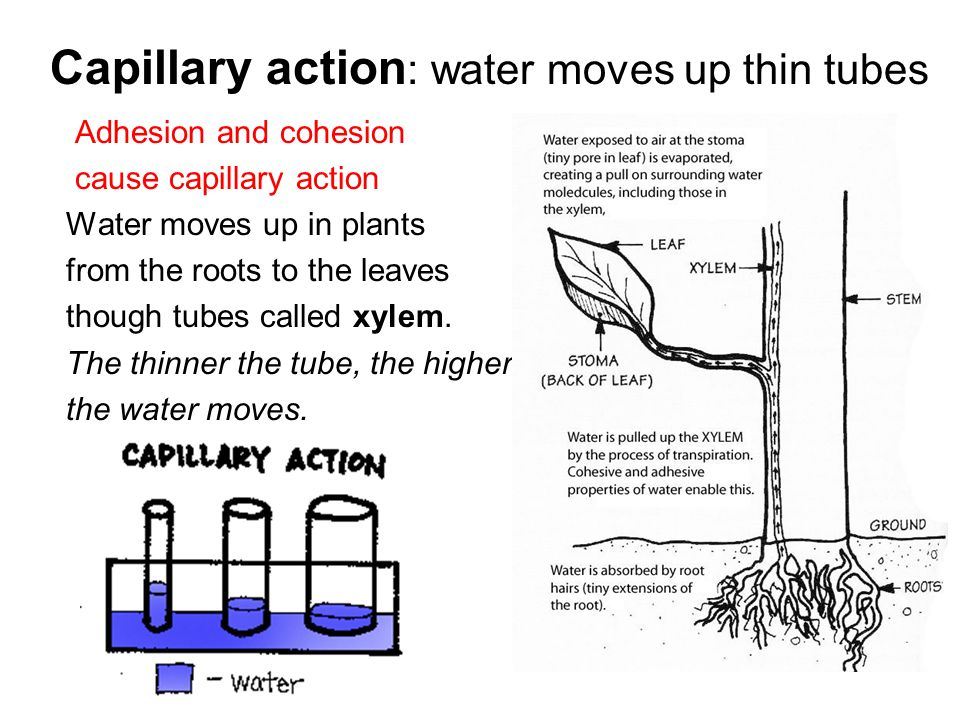 Adhesion and cohesion cause capillary action Water moves up in plants from the roots to the leaves though tubes called xylem.