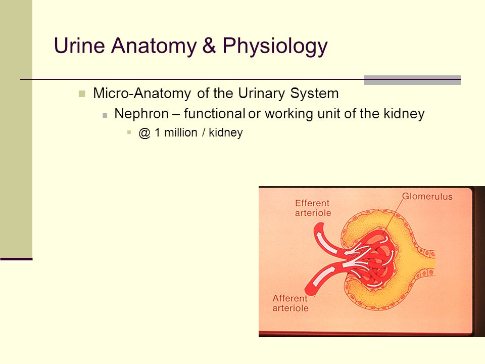 BODY FLUID ANALYSIS Urine Mini-review for UA COURSE Final Exam part ...