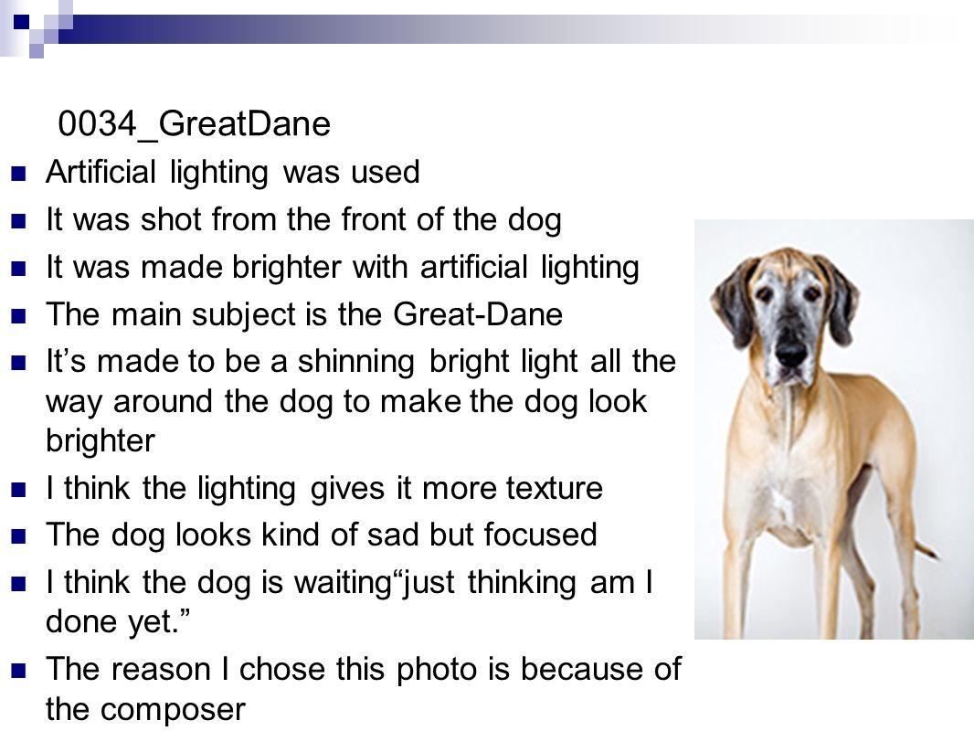 0034_GreatDane Artificial lighting was used It was shot from the front of the dog It was made brighter with artificial lighting The main subject is the Great-Dane It's made to be a shinning bright light all the way around the dog to make the dog look brighter I think the lighting gives it more texture The dog looks kind of sad but focused I think the dog is waiting just thinking am I done yet. The reason I chose this photo is because of the composer