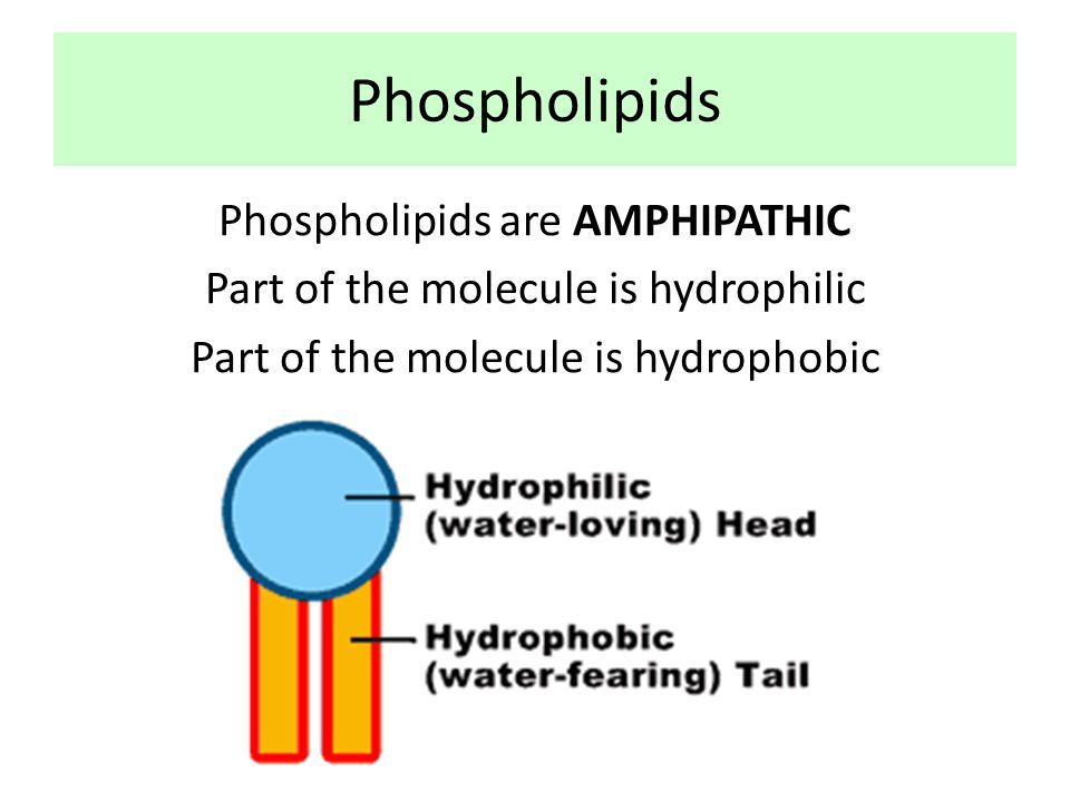 Membrane structure Describe the structure of a phospholipid
