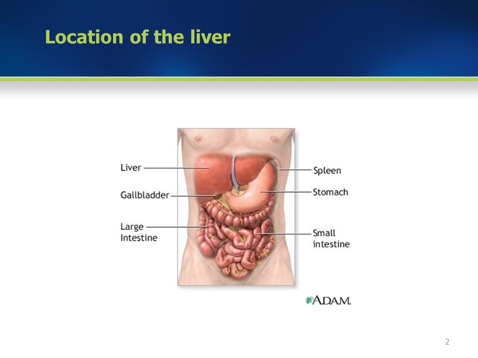 Location of the liver 2