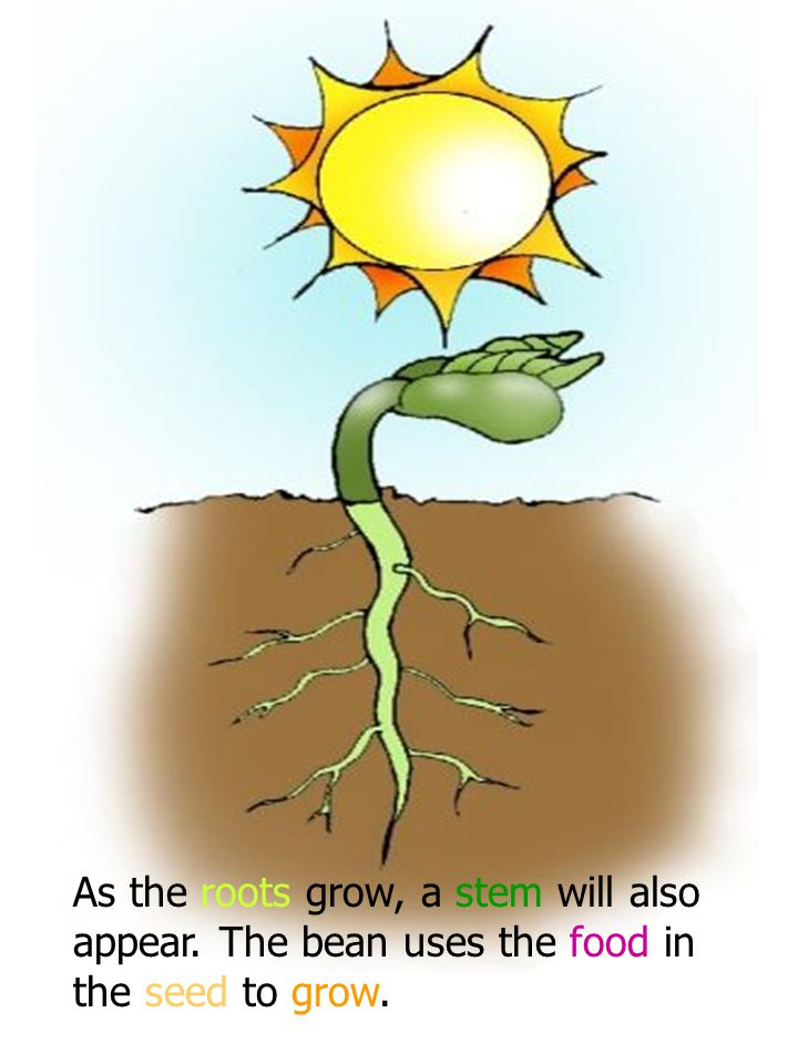 As the roots grow, a stem will also appear. The bean uses the food in the seed to grow.