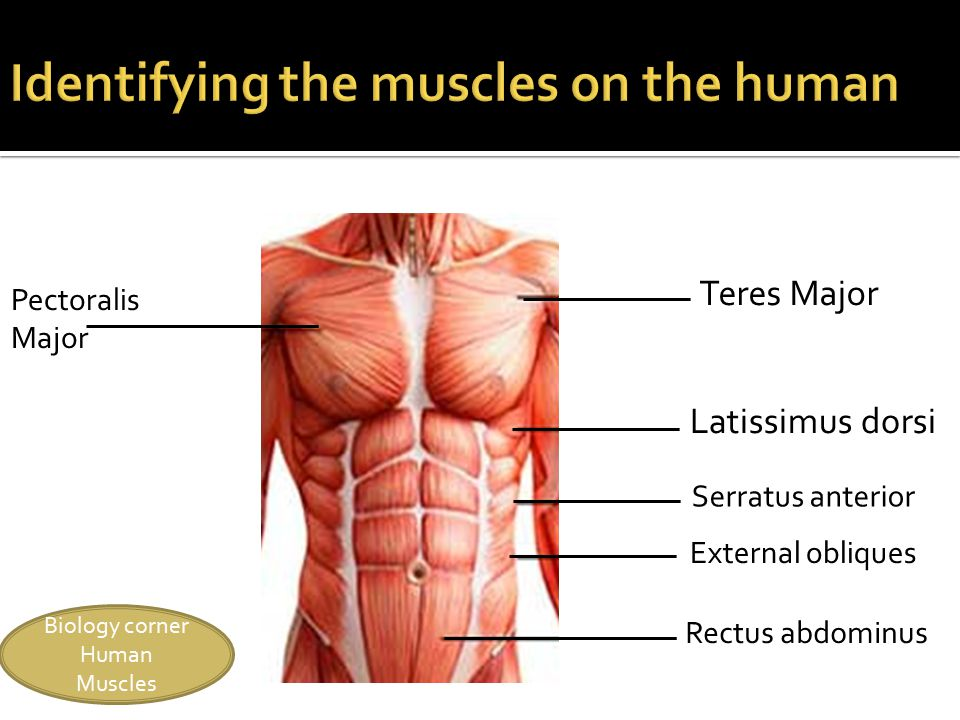 15 biology corner human muscles teres major pectoralis major latissimus  dorsi serratus anterior external obliques rectus abdominus